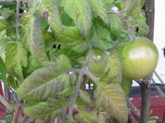 tomaatit kasvoivat hyvin