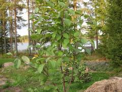 pirja-omenapuu kasvamassa