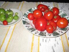 tomaatteja kypsymässä