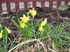 narsissit kevät 2012