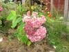 hortensia sy 2012