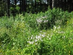 kurjenpolvet ja niittyleinikit metsän reunassa 2010