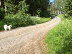 Kylätien varrella koiranputkea ja koira