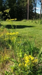 Palsternakkaa ja liljoja nurmikon laidalla