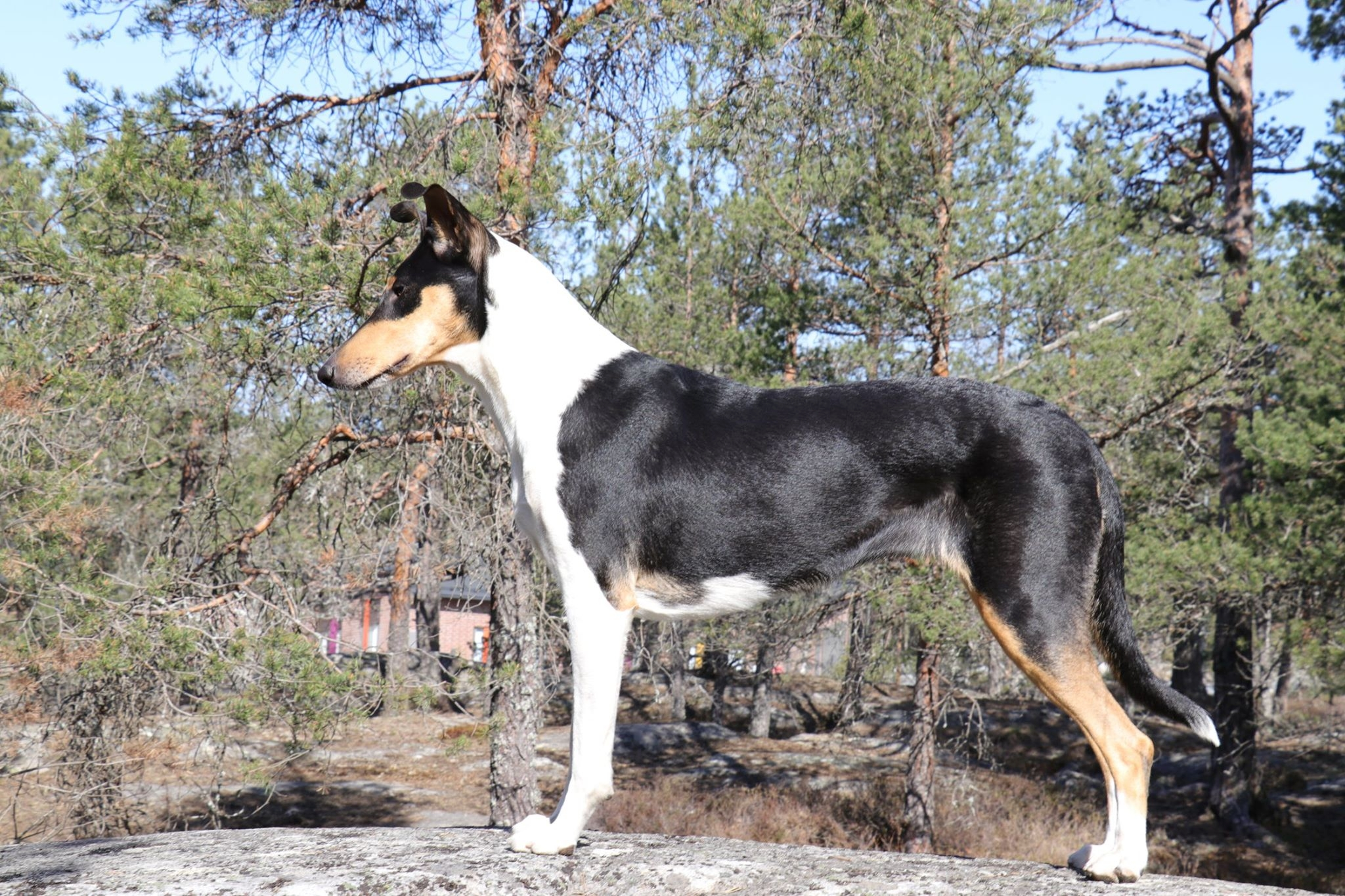 Sileäkarvainen collie, Diamondfox Enchanted Love