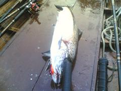 Tornio river 10,1 kg,