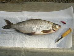 Kittilä and whitefish 1,7 kg