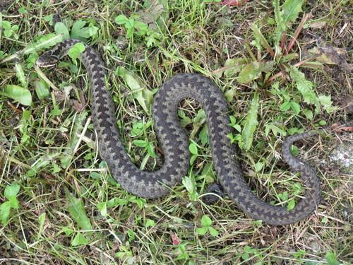 Käärmeenpurema
