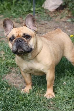 Ranskanbulldoggi Esruttukuonot