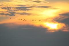 Hanhet ilta-auringossa