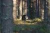Metso soitimella