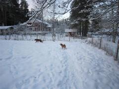 Hoitolavieraat Rocky ja Lester ovat innoissaan kun saavat juosta vapaana Omenapihan isolla aidatulla alueella.