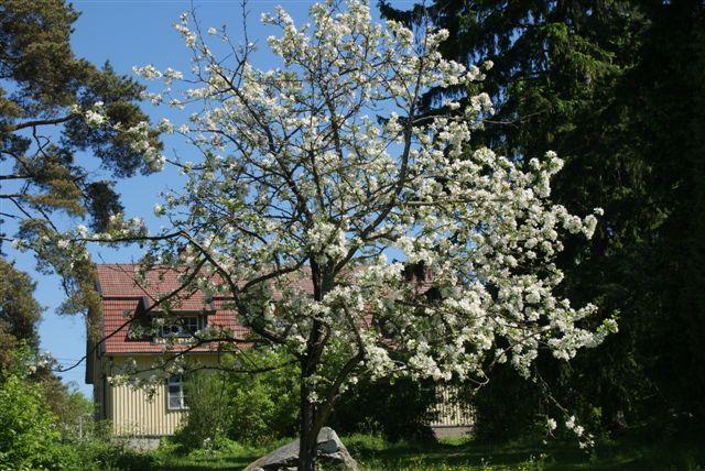 omenapuu1.jpg