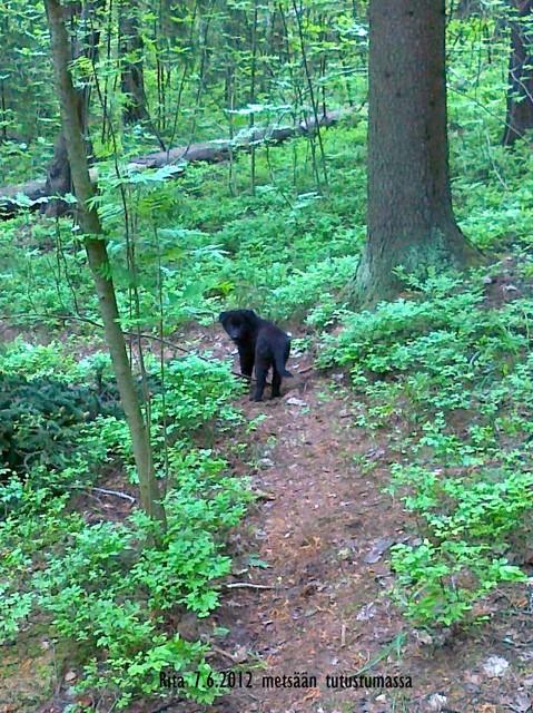 7.6.2012 Rita 8vk metsässä   kuva PL