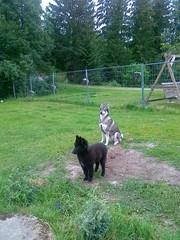 07.07.2012 Rita ja Hukka kuuntelee koiran haukuntaa yhdessä