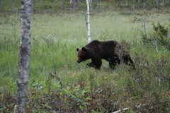 Karhun voit nähdä meillä melko todennäköisesti