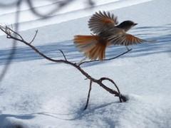 Kuukkeli voi lennähtää myös Haikuseen...