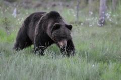Karhu, kuvaaja Jarmo Kauppinen