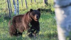 karhu, kuva Jorma Kettunen