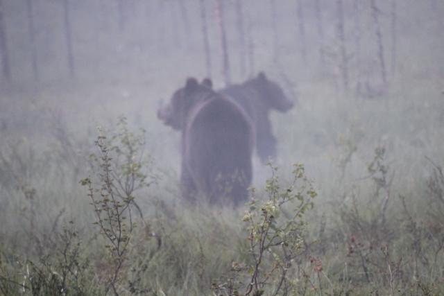 karhut usvassa