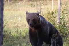 karhu, kuvaaja Jorma Kettunen