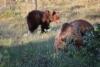 karhut, kuvaaja Jorma Kettunen