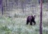 pieni karhu, kuvaaja Timo Piirainen