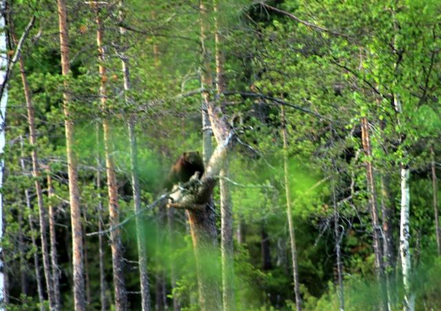 ahma puussa, kuva Jorma Kettunen