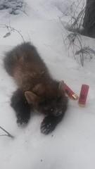 Näätä oravanpesästä