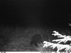 karhu Sipilänmäessä