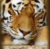 fin, hki, korkeasaari, tiger, 20110821.  photo hannu sinisalo