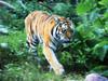 fin, hki, korkeasaari, tiger, 20110821. photo hannu sinisalo.  (4)