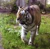 fin, hki, korkeasaari, tiger, 20110821. photo hannu sinisalo.  (6)