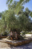 20._hania_vouves_world_oldest_olive_tree_museum
