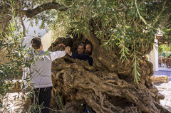 22._hania_vouves_world_oldest_olive_tree_museum