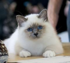 Safiirin siniset silmät