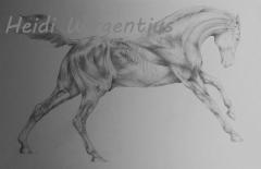 Hevosen anatomiaa
