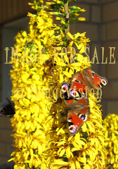 for sale butterflies in yellow flowers