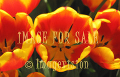 for sale orange-yellow tulips