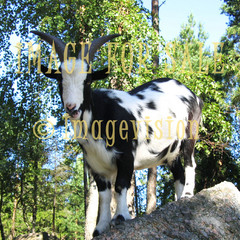 for sale male goat standing on rock