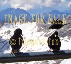 for sale black birds on high mountain in tirol alps