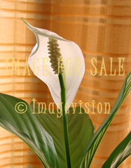 for sale white flower against curtain