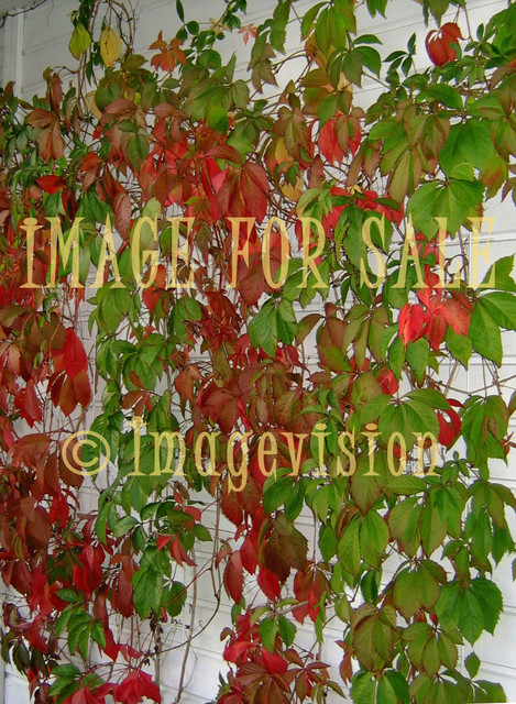 for sale bine plant with bright autumn colours