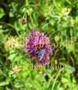 for sale butterfly in purple flower