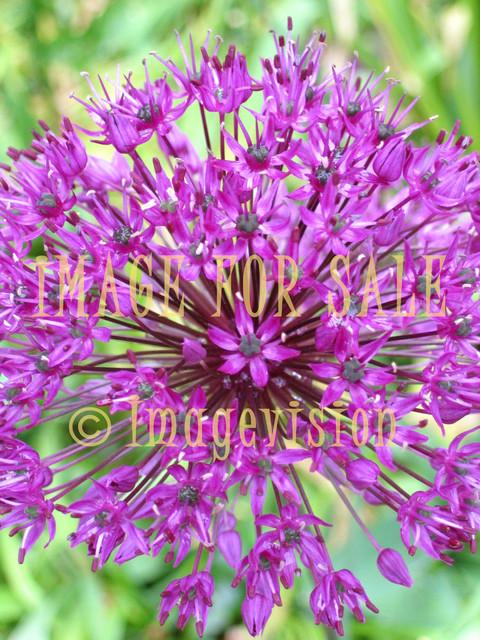 for sale purple flower