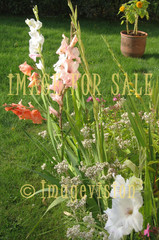 for sale tall gladiolus flowers