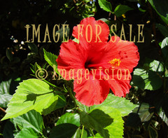 for sale red flower in cyprus
