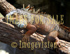 for sale big lizard walking on tree branch