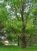 for sale big green oak tree in park