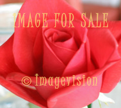 for sale red rose bud_softened